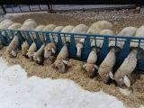Koyun kilitli yemlik sistemi sağım ve aşılama kolaylığı saglar